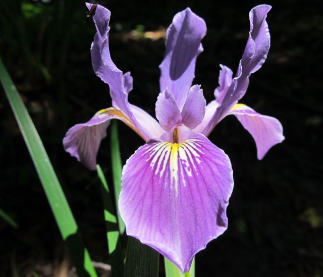 waves of spring wind/ whoosh, hiss, rattle, crash, bang!/ iris blooms unfazed