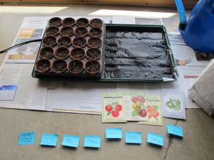Half-planted flat of tomato and basil seedlings--the wicking mat waters the roots from underneath. 