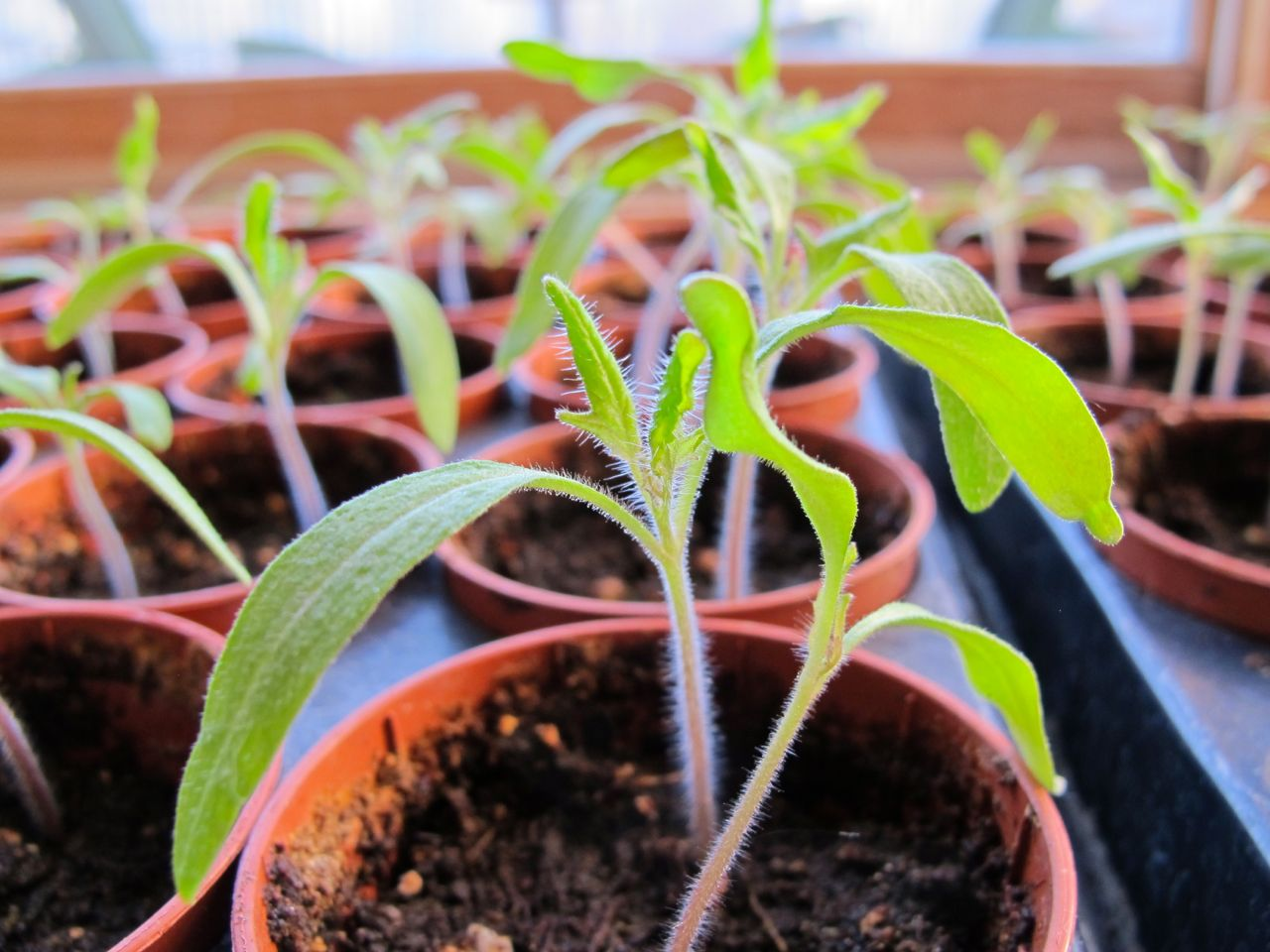 Black krim seedlings with their first real leaves growing up between the outstretched cotyledons or seed leaves.