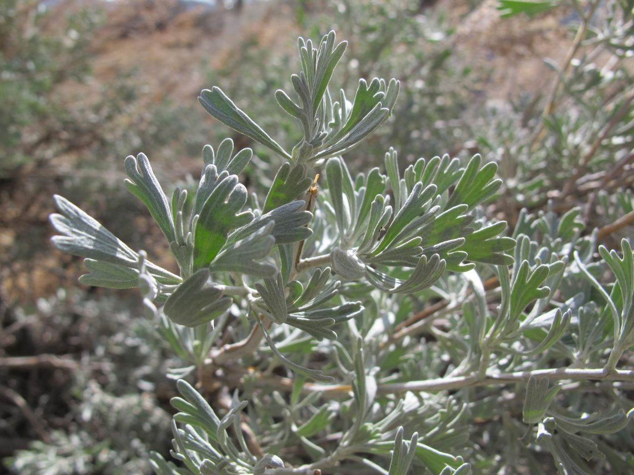 Big sagebrush, Seriphidium tridentum, the indicator shrub for the landscapes I call home.
