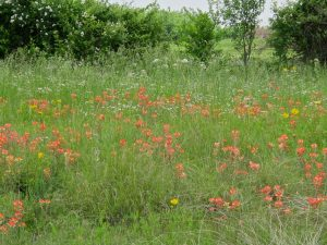 Indian paintbrush, coreopsis, and yarrow blooming along the highway east of Tulsa.