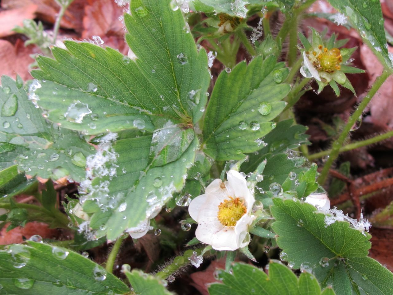 """A strawberry flower """"drinking"""" snowflake-melt droplets in my May Day garden."""