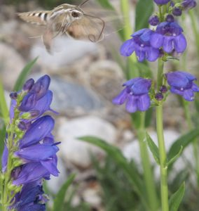 White-lined sphinx moth nectaring at Rocky Mountain penstemon in a local park.