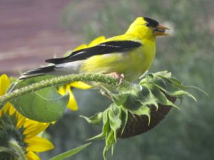 Male American Goldfinch picking seeds out of a sunflower head--far more entertaining than simply filling a feeder!