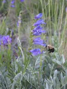 Bumblebee wings in to a Rocky Mountain Penstemon flower, providing pollination for the flower, which in turn feeds the bee pollen and nectar--a sweet trade!