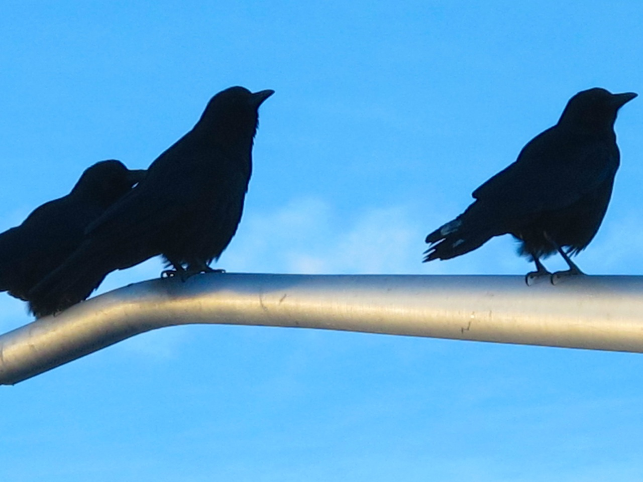 teenage crows/ hurl caws at winter-blue sky--/ stomachs grumbling