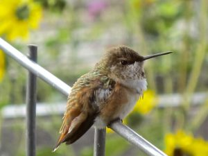 How could anyone not love landscaping that sustains cuties like this immature Rufous Hummingbird?