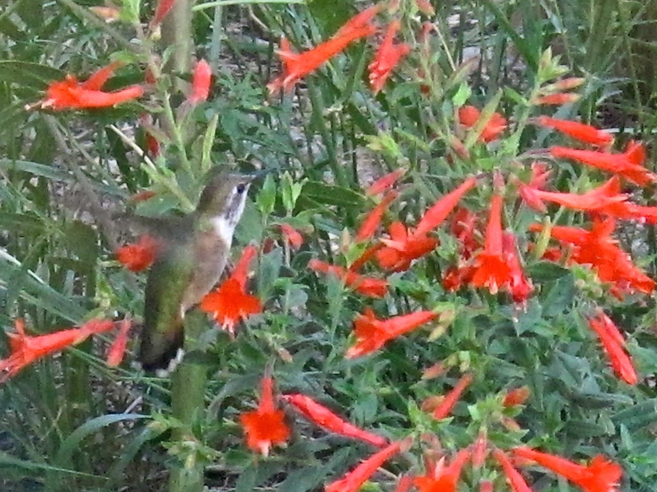 Female broad-tailed hummingbird nectars at Zauschneria flowers.