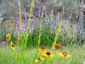 "Blanketflower and Rocky Mountain penstemon bloom over native bunchgrasses in a native meadow ""lawn."""