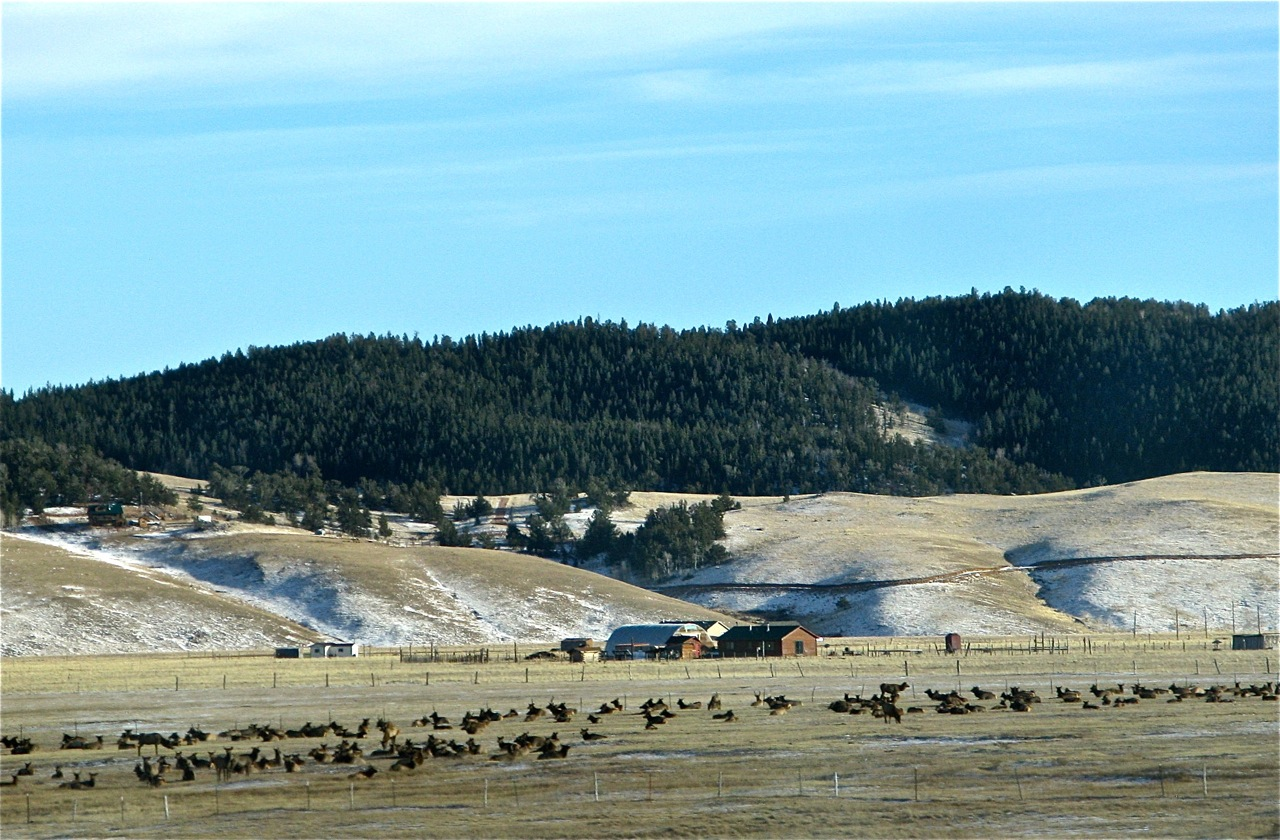 A herd of about 200 elk gathered in South Park in winter, one of the benefits of the drive over the high country.