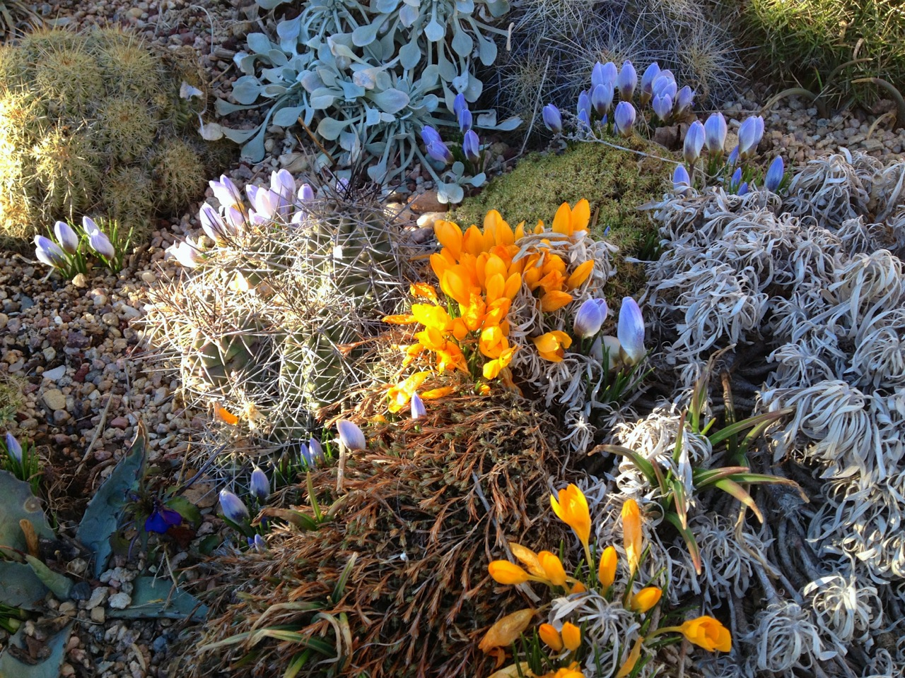 Crocus blooming in Lauren's south-facing succulent and cactus garden