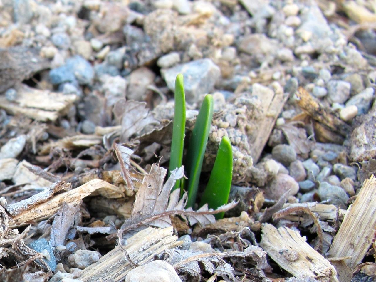 Daffodil leaves poking through the mulch.