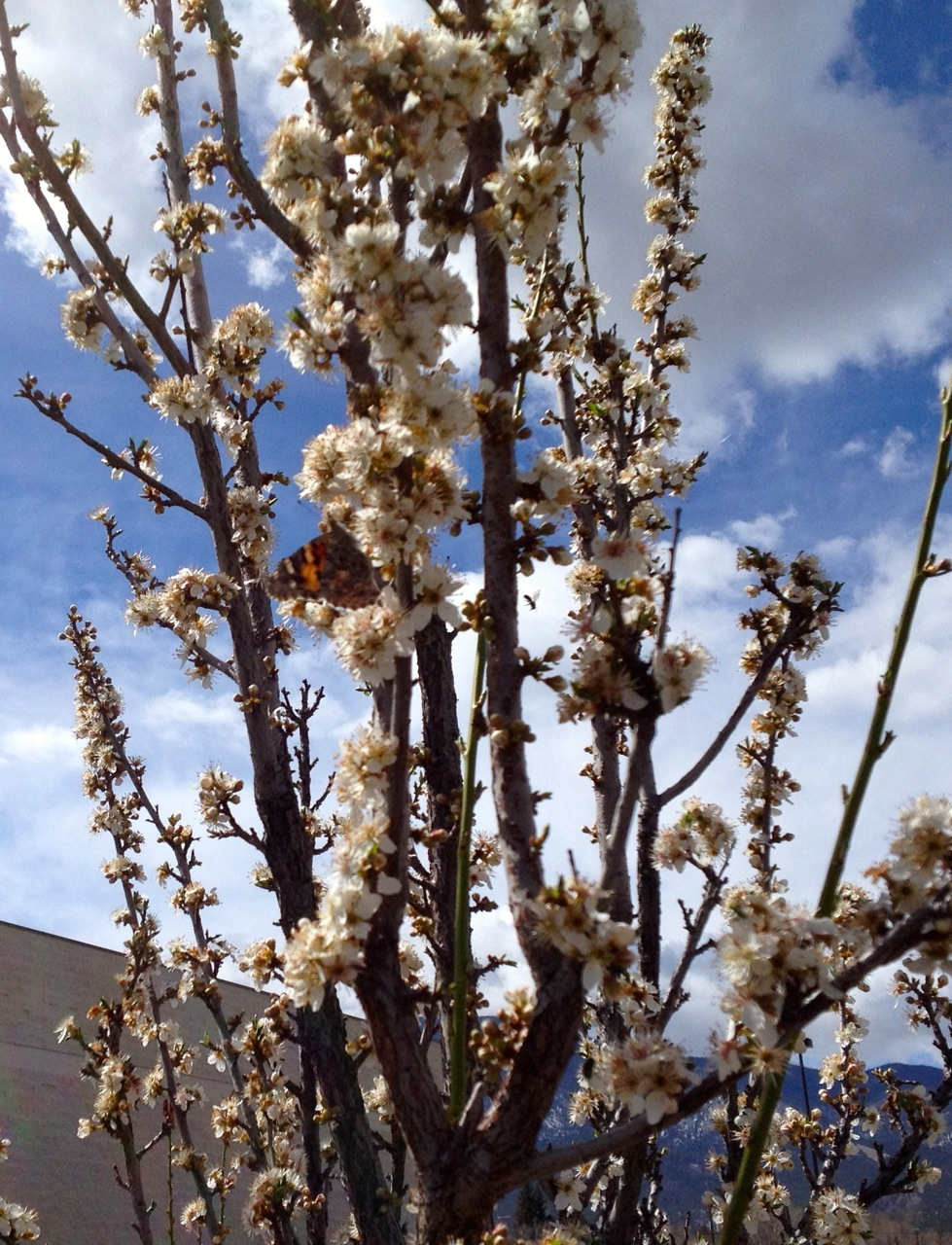 Sand cherry flowers abuzz with native bees and one early-flying painted lady butterfly.
