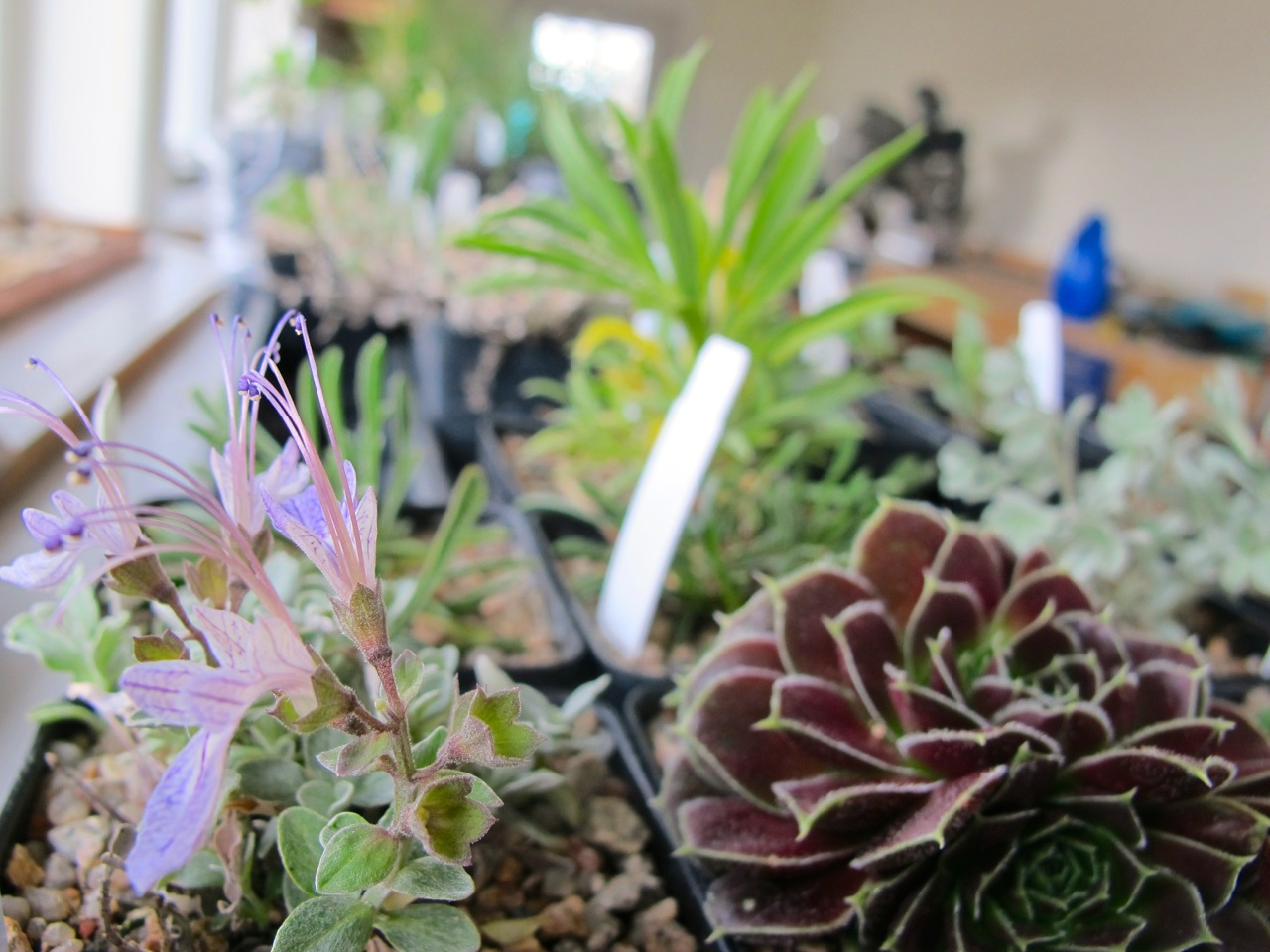 Teucrinum, a succulent, astragalus and other rock garden plants wait their turn to be planted.