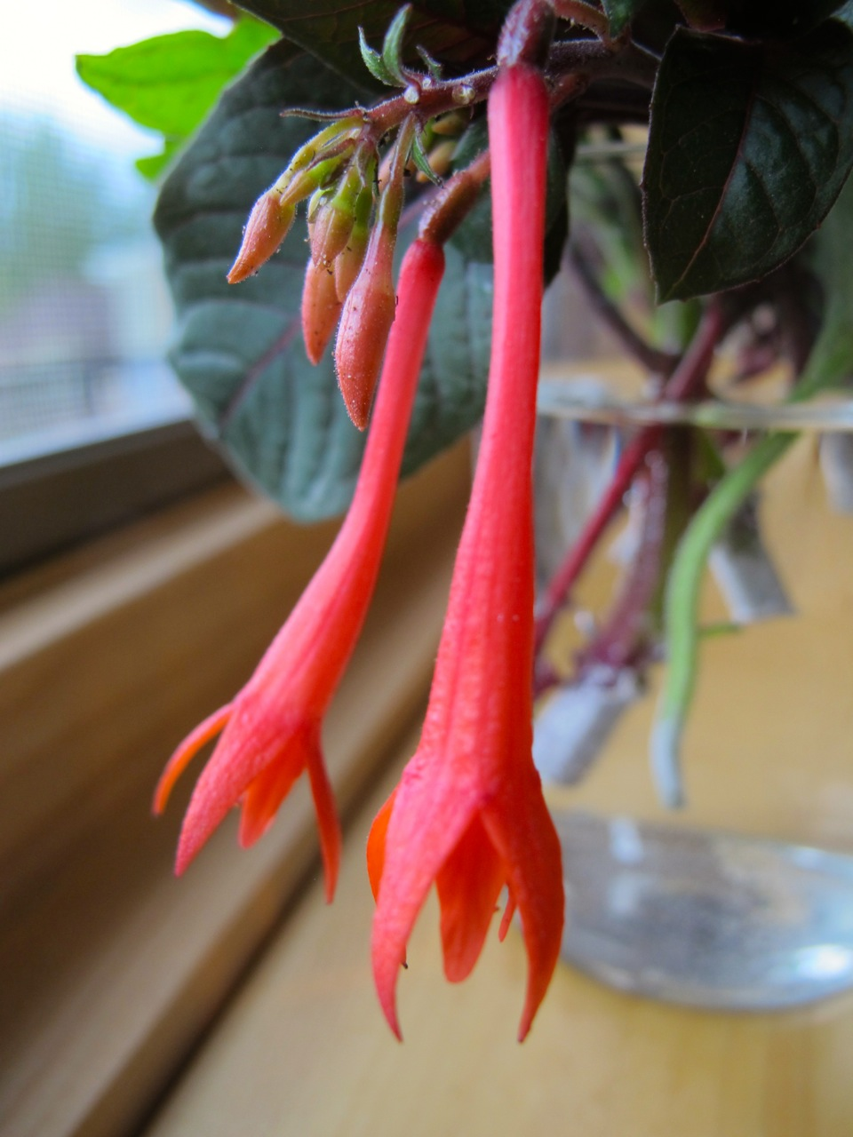 Fuchsia blooms I trimmed off to help the new plant get established.