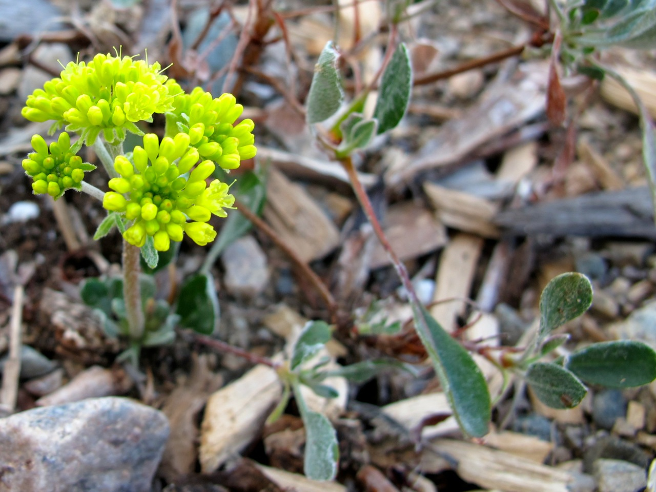 'Poncha Pass Red' sulfur-flower buckwheat (Eriogonum umbellatum 'Poncha Pass Red')