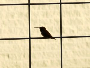 Rufous Hummingbird perched on the deck railings.
