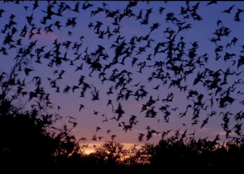 Mexican Free-tailed Bats from a colony in Texas. (Copyright-free photo, not mine)