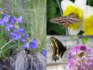 Native pollinators from my wildscape (no, the daffodil isn't a native plant, but the others are).