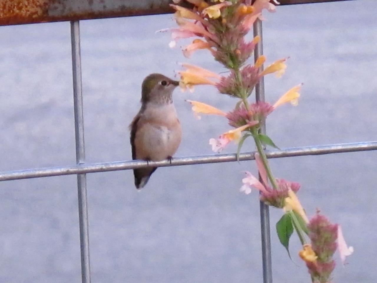 Calliope hummingbird habitat
