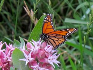 Monarch butterfly on showy milkweed along Ditch Creek.