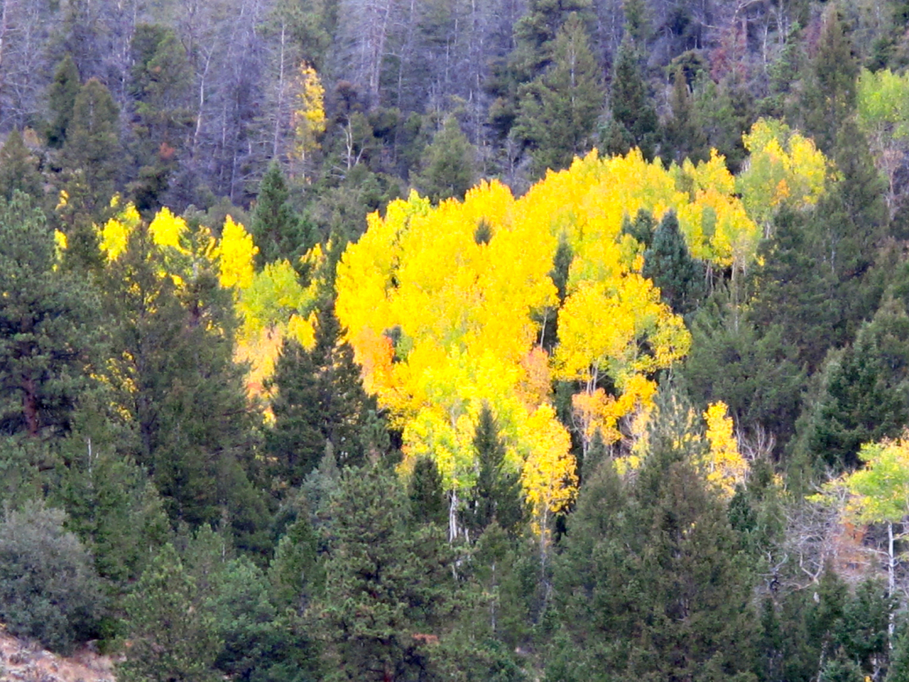 Aspen flickers in the dark forest of ponderosa pines and Douglas-firs