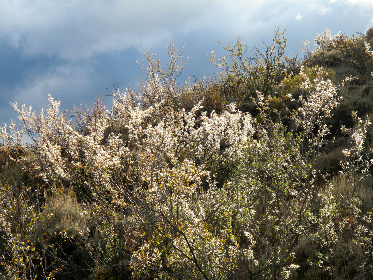 Making the backlit mountain mahogany shrubs particularly lovely against gray clouds...