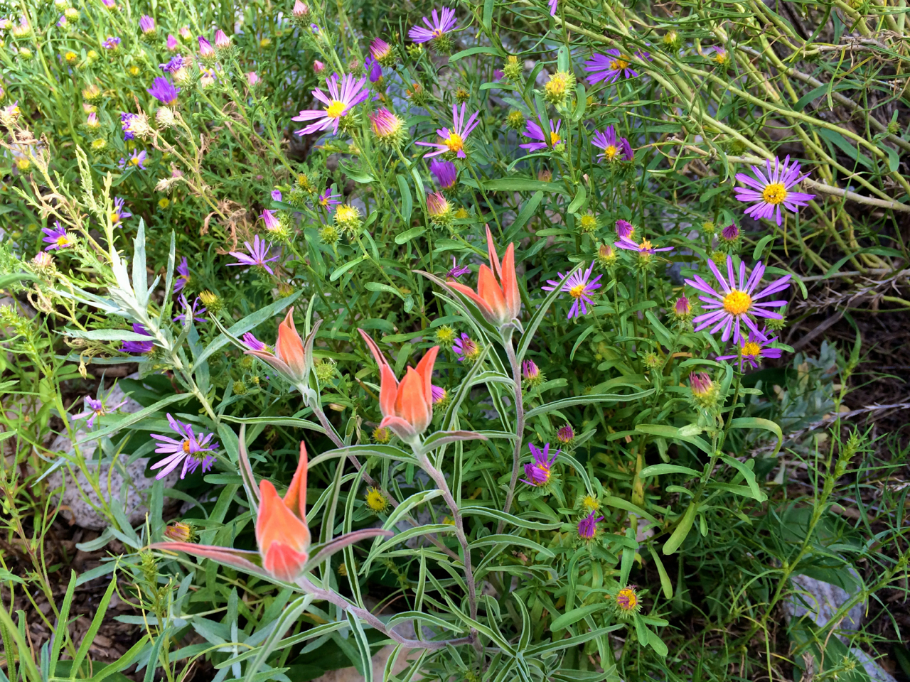 Wholeleaf Indian Paintbrush and Showy Fleabane in Monarch Spur Park.