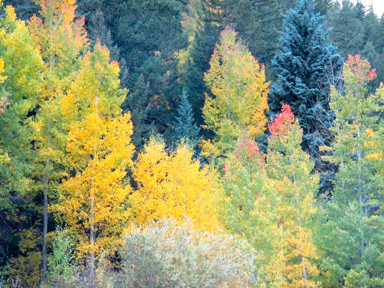 Aspen leaves from green to gold to red!