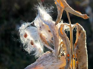 While I was immersed in the story, the milkweed seeds began to float away....
