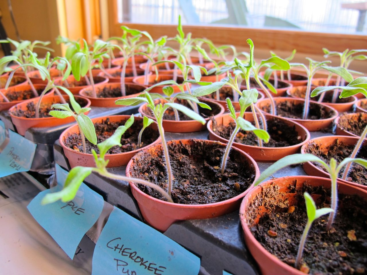 Baby tomato plants, just putting out their first real leaves.