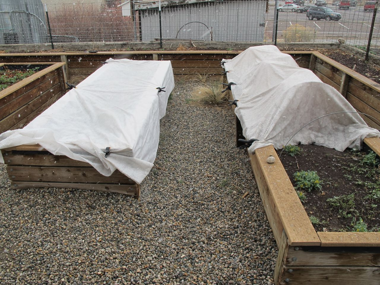 Under the right-hand row cover are the tomatoes in their insulating teepees. Under the left are greens.
