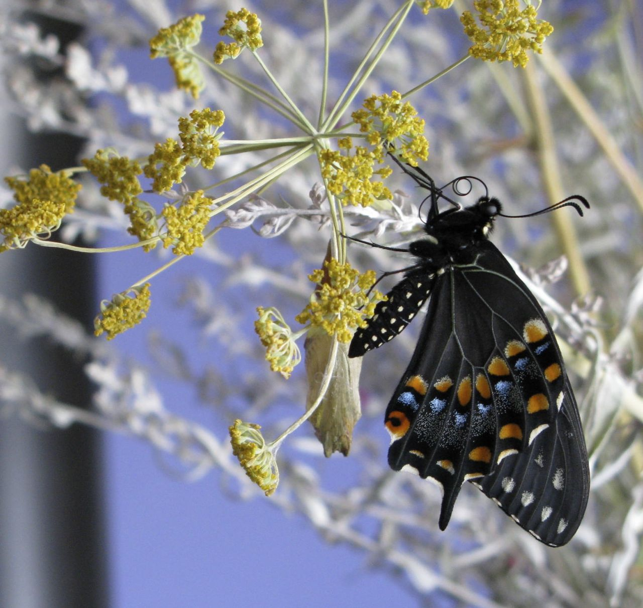 Eastern black swallowtail emerges from its chrysalis on a fennel pant from my garden